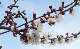 Niederlassungen einer blühenden Aprikose auf einem Hintergrund des blauen Himmels Lizenzfreie Stockfotos