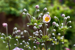 Niederlassungen einer blühenden rosa Anemone in einem Garten Lizenzfreie Stockfotos