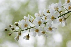 Niederlassungen einer jungen blühenden Vogelkirsche Schönheit in der Natur Stockfoto
