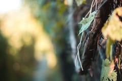 Niederlassungen einer Rebe mit einem unscharfen Hintergrund stockfotos