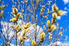Niederlassungen einer Weidenblüte im Frühjahr Lizenzfreie Stockfotos