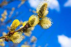 Niederlassungen einer Weidenblüte im Frühjahr Stockfotografie