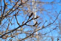 Niederlassungen eines Apfelbaums mit den Knospen auf Hintergrund des blauen Himmels Stockfotografie