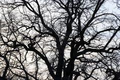 Niederlassungen eines Baums gegen Stockbild