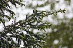 Niederlassungen eines Baums im Schnee fichten Stockbild