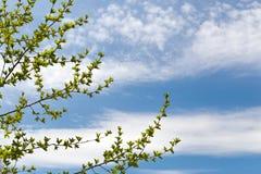 Niederlassungen eines Baums mit jungen Blättern gegen den Himmel Lizenzfreie Stockfotografie
