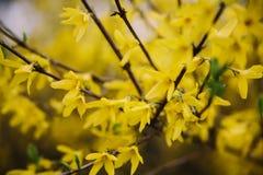 Niederlassungen eines blühenden Forsythie-Ostern-Baums mit gelben Blumen Abschluss oben lizenzfreie stockbilder