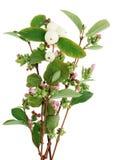 Niederlassungen eines dekorativen Strauchs mit rosa kleinen Blumen und großes Lizenzfreie Stockfotos