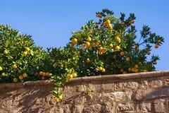 Niederlassungen eines Orangenbaums mit reifen Früchten gegen den blauen Himmel Stockfotografie