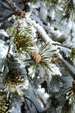 Niederlassungen eines Tannenbaums mit Kegel häuften Hoch mit Schnee an Stockfoto