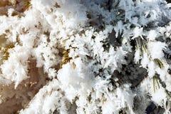 Niederlassungen eines Weihnachtsbaums bedeckt mit Schnee und der Kegel natürlich Stockbild