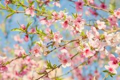 Niederlassungen mit blühenden rosa Blumen gegen den blauen Himmel Beschaffenheit des blühenden Baums Wiese voll des gelben Löwenz lizenzfreie stockbilder