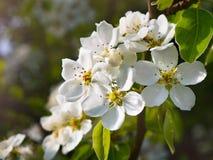 Niederlassungen mit Blumen auf Birnenbaum Stockbild