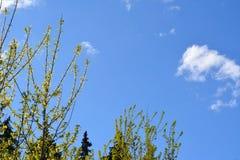 Niederlassungen mit Blumen und Blättern von Ahorn Acer-negundo Stockbild