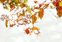 Niederlassungen mit den Gelben und Rotblättern bedeckt mit weißem Schnee Lizenzfreie Stockfotos