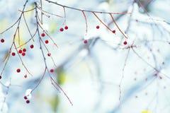 Niederlassungen mit empfindlichen roten Beeren Natürlicher Winterhintergrund Stockbild