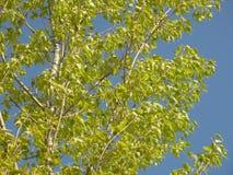 Niederlassungen mit grünem Laub gegen blauen Himmel im Frühjahr Stockfotografie