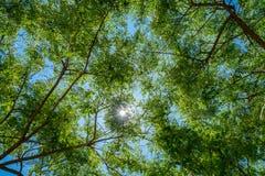 Niederlassungen mit grünen Blättern gegen den sonnigen blauen Himmel, gesehen vom Gebrüll Lizenzfreie Stockfotos