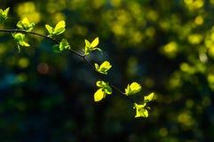 Niederlassungen mit jungen Blättern bei Sonnenuntergang Stockfoto