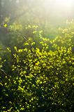 Niederlassungen mit jungen Blättern bei Sonnenuntergang Stockfotos