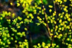 Niederlassungen mit jungen Blättern bei Sonnenuntergang Lizenzfreie Stockfotografie