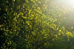 Niederlassungen mit jungen Blättern bei Sonnenuntergang Lizenzfreie Stockbilder