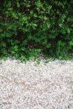 Niederlassungen mit jungen grünen Blättern und den weißen gefallenen Blumenblättern von Frühlingsblumen Ansicht von oben Raum für lizenzfreies stockfoto