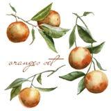 Niederlassungen mit Orangen im Satz Getrennt auf weißem Hintergrund Stockfoto
