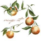 Niederlassungen mit Orangen im Satz Getrennt auf weißem Hintergrund Lizenzfreie Stockbilder