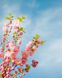 Niederlassungen mit schönen rosa Blumen Stockfotografie