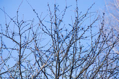 Niederlassungen ohne Blätter auf Hintergrund des blauen Himmels, Natur Lizenzfreies Stockbild
