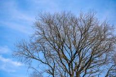 Niederlassungen trocknen Baum auf Hintergrund des blauen Himmels Stockfotos