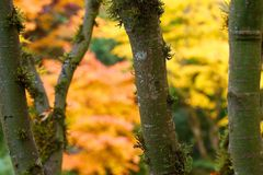Niederlassungen u. Stamm des Ahornbaums mit orange Gelb-Blättern im Fall Autmn Stockfotos