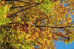 Niederlassungen und Herbstlaub Stockfoto