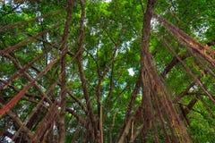 Niederlassungen und Reben des Banyanbaumes gegen einen blauen Himmel Lizenzfreie Stockbilder