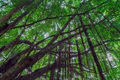 Niederlassungen und Reben des Banyanbaumes gegen einen blauen Himmel Stockfoto