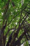 Niederlassungen und Reben des Banyanbaumes gegen einen blauen Himmel Lizenzfreies Stockbild