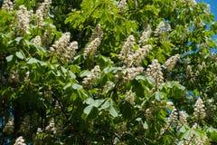 Niederlassungen von Aesculus hippocastanum in der Blüte Lizenzfreies Stockfoto