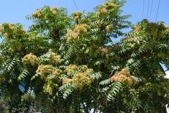 Niederlassungen von Ailanthus altissima gegen den Himmel stockfotografie