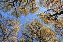 Niederlassungen von alten Bäumen vor dem hintergrund des blauen Himmels lizenzfreie stockbilder