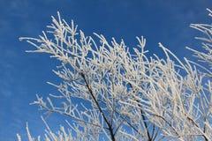 Niederlassungen von Bäumen im Reif gegen den blauen Himmel Stockfoto