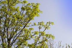 Niederlassungen von Bäumen mit Blumen gegen den blauen Himmel Baumaste auf dem Baum gegen blauen Himmel Lizenzfreies Stockbild