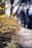 Niederlassungen von Büschen mit gelben Blättern Stockbild