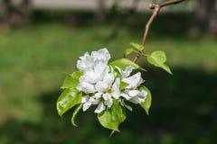 Niederlassungen von blühenden Apfelbäumen lizenzfreies stockbild