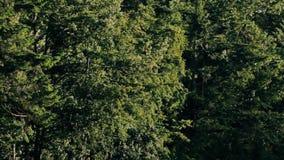Niederlassungen von den Bäumen, die durch die Brise sich bewegen stock video