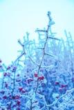 Niederlassungen von den Bäumen und von roten Beeren bedeckt mit Schnee im Frost an Stockfotos