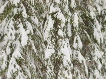 Niederlassungen von den Fichten coveded mit Schnee lizenzfreies stockfoto