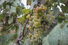 Niederlassungen von den Weißweintrauben, die auf den georgischen Gebieten wachsen Schließen Sie herauf Ansicht der frischen Weißw Stockfotografie