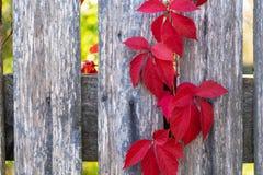 Niederlassungen von Ersttrauben auf dem grauen Zaun stockfoto