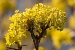 Niederlassungen von Frühlingsblumen des Ahorns Stockbilder